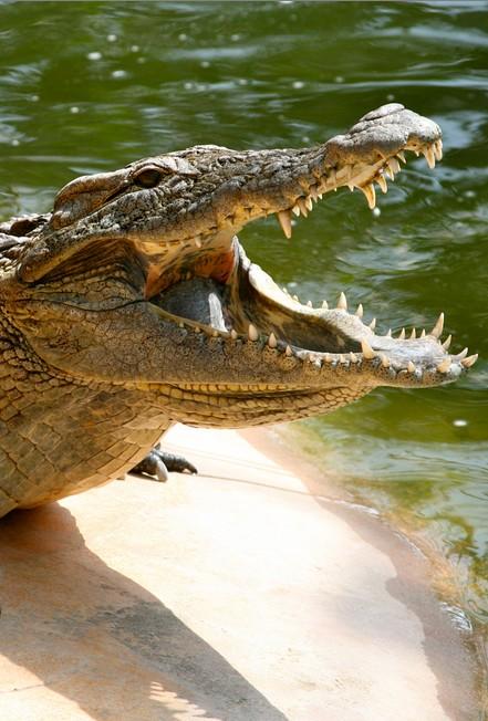 Inwazja krokodyli