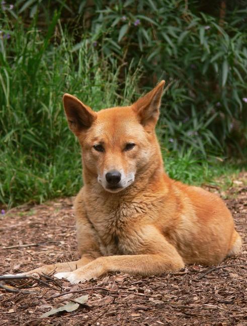Cała prawda o dingo