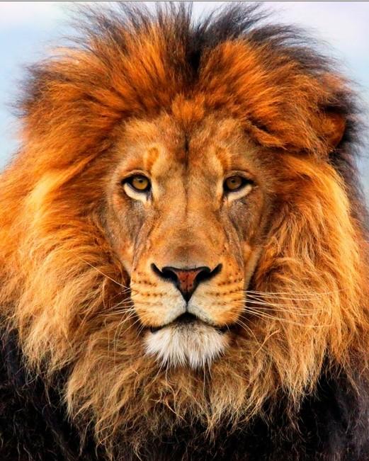 Powrót króla lwa